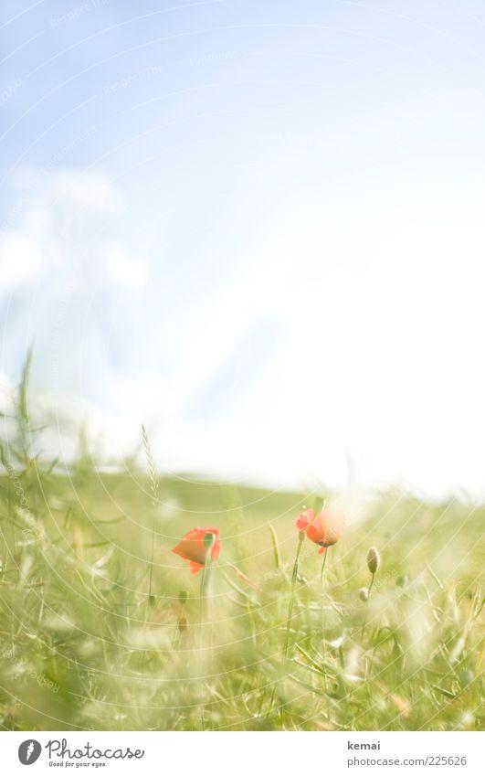 Sanfte Mohnblüte Umwelt Natur Pflanze Himmel Sonnenlicht Sommer Schönes Wetter Wärme Gras Blatt Blüte Wildpflanze Wiese Blühend Wachstum hell blau grün rot