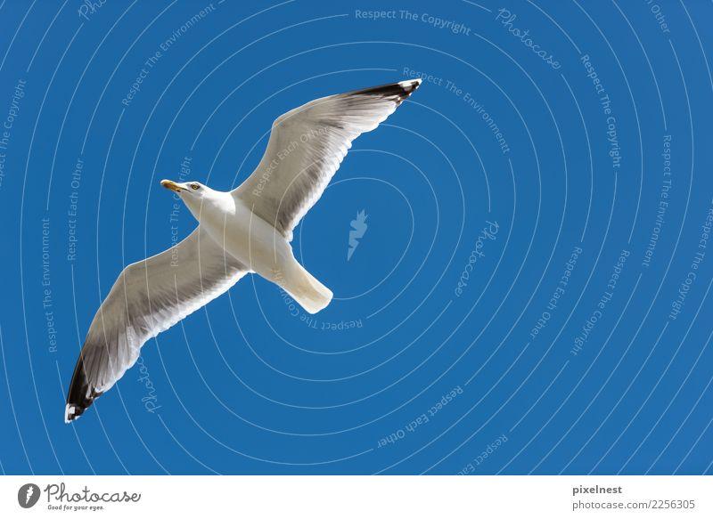 Silbermöwe Sommer Tier Schönes Wetter Wildtier Vogel Möwe 1 beobachten fliegen frei blau weiß Freiheit Perspektive Ferien & Urlaub & Reisen ruhig