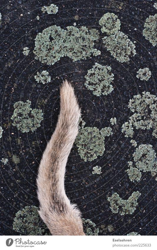 ~~~~ ruhig Tier grau Hund braun blond elegant sitzen liegen Asphalt Fell Richtung Haustier Schwanz geduldig
