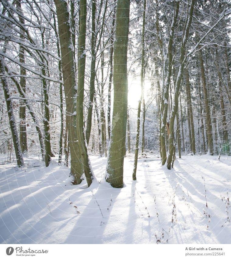 Secret's secret Natur weiß schön Baum Pflanze Winter Wald kalt Schnee Umwelt Landschaft glänzend Unendlichkeit leuchten Idylle Baumstamm