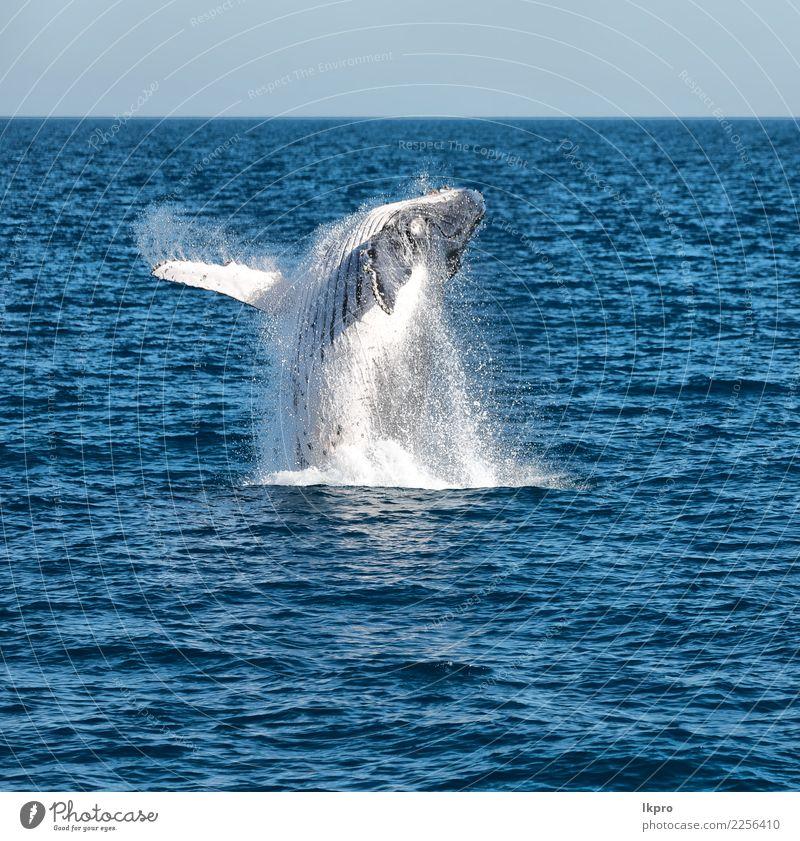 Ozean wie Konzept der Freiheit schön Ferien & Urlaub & Reisen Meer Insel Umwelt Natur Tier 1 beobachten springen groß natürlich wild blau weiß Wal Buckelige