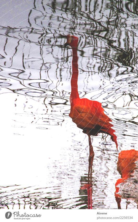 Wasservogelperspektive Tier Meer Moor Sumpf Teich Wasseroberfläche Wasserspiegelung Vogel Flamingo Zoo 2 stehen außergewöhnlich dünn elegant exotisch hoch lang