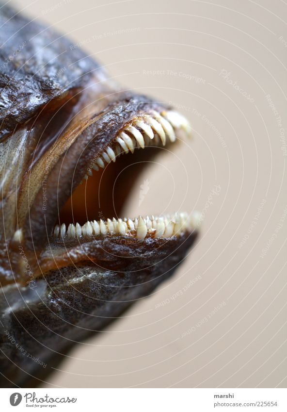 bissig Tier Ernährung Lebensmittel klein Fisch gefährlich bedrohlich Zähne Tiergesicht Spitze Gebiss Ekel Unschärfe Maul Außerirdischer