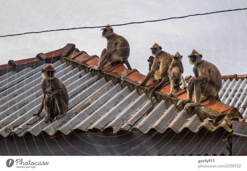 Affenbande Ferien & Urlaub & Reisen Tourismus Ausflug Abenteuer Sightseeing Dach Wildtier Tiergesicht Tiergruppe Tierfamilie beobachten Coolness frech lustig