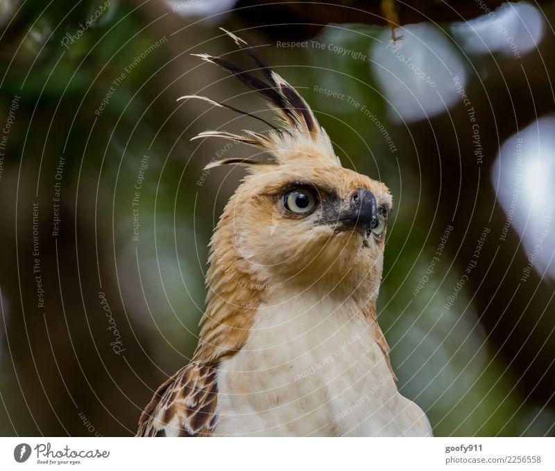 Falkenadler Ferien & Urlaub & Reisen Tourismus Ausflug Abenteuer Safari Expedition Baum Wald Urwald Sri Lanka Asien Vogel Tiergesicht Flügel Fell Adler