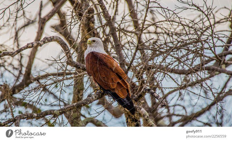 Weißkopfadler Ferien & Urlaub & Reisen Tourismus Ausflug Abenteuer Safari Expedition Umwelt Natur Baum Ast Wald Urwald Sri Lanka Asien Tier Wildtier Vogel