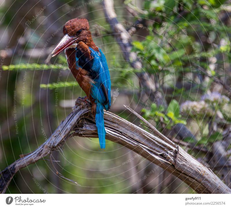 Kingfisher Ferien & Urlaub & Reisen Tourismus Ausflug Abenteuer Ferne Safari Expedition Umwelt Natur Landschaft Baum Wald Urwald Sri Lanka Asien Tier Wildtier