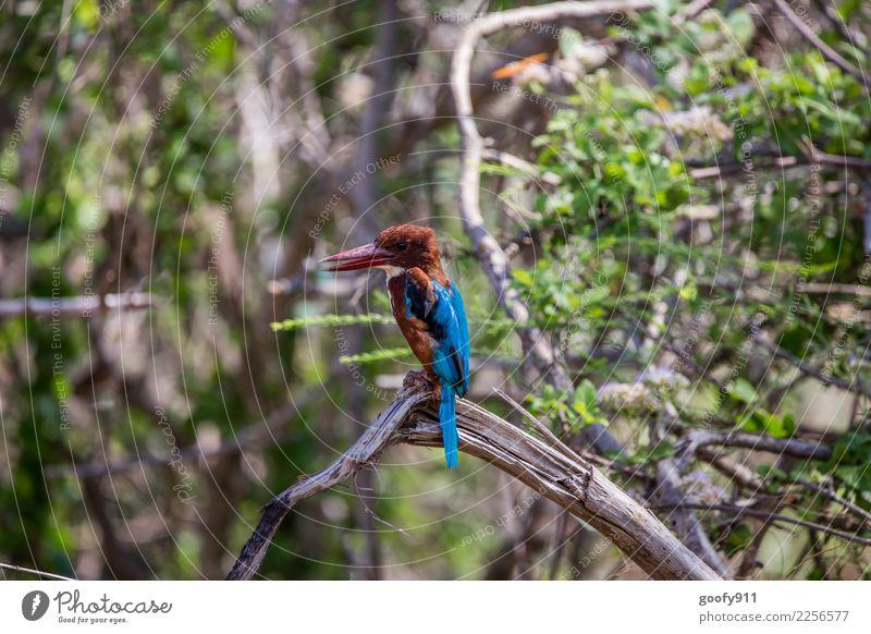 Kinghfisher 2 Ferien & Urlaub & Reisen Tourismus Ausflug Abenteuer Ferne Freiheit Safari Expedition Umwelt Natur Landschaft Baum Wald Urwald Sri Lanka Asien