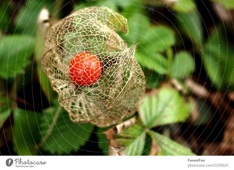 Die Lampionblume Umwelt Natur Pflanze Herbst Schönes Wetter Blatt Grünpflanze Garten rund grün orange rot Physalis netzartig Farbfoto Außenaufnahme Nahaufnahme