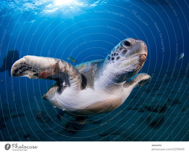 Grüne Schildkröte (Chelonia mydas) exotisch Freude Ferien & Urlaub & Reisen Strand Meer Natur Pflanze Tier Wärme Küste groß natürlich unten grün Farbe Dummkopf