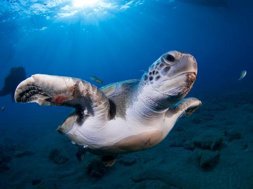 Grüne Schildkröte (Chelonia mydas) Natur Ferien & Urlaub & Reisen Pflanze Farbe grün Meer Tier Freude Strand Wärme natürlich Küste groß exotisch unten tropisch