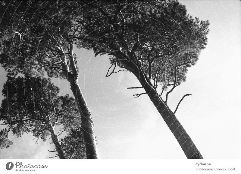 Drei Himmel Natur schön Baum Einsamkeit Gefühle Umwelt Bewegung Wind 3 ästhetisch Wachstum einzigartig analog Kiefer Nadelbaum