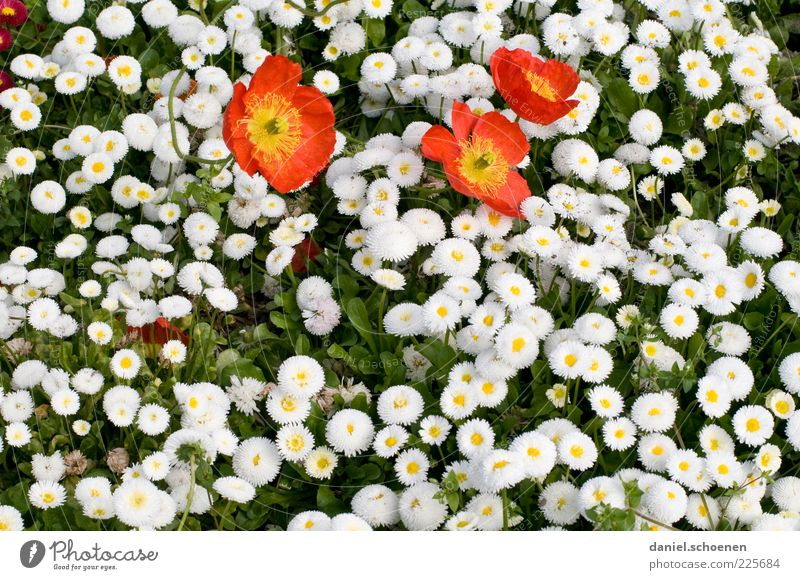 etwas Frühling Pflanze Blume Blatt Blüte rot weiß Gänseblümchen Mohn Detailaufnahme Textfreiraum unten Blühend Menschenleer Vogelperspektive Gras Blütenblatt
