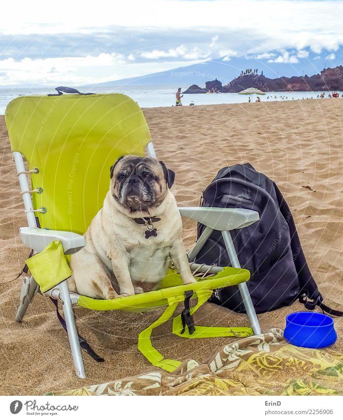 Brutus der Mops genießt den Strand Hund Sommer Wasser Meer Erholung Tier Freude Lifestyle Frühling lustig Küste Sand Zufriedenheit sitzen Fröhlichkeit