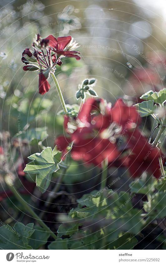 rotgrünes Geflirre Umwelt Natur Pflanze Blume ästhetisch schön Farbfoto Außenaufnahme Morgendämmerung Licht Kontrast Sonnenlicht Gegenlicht Dämmerung