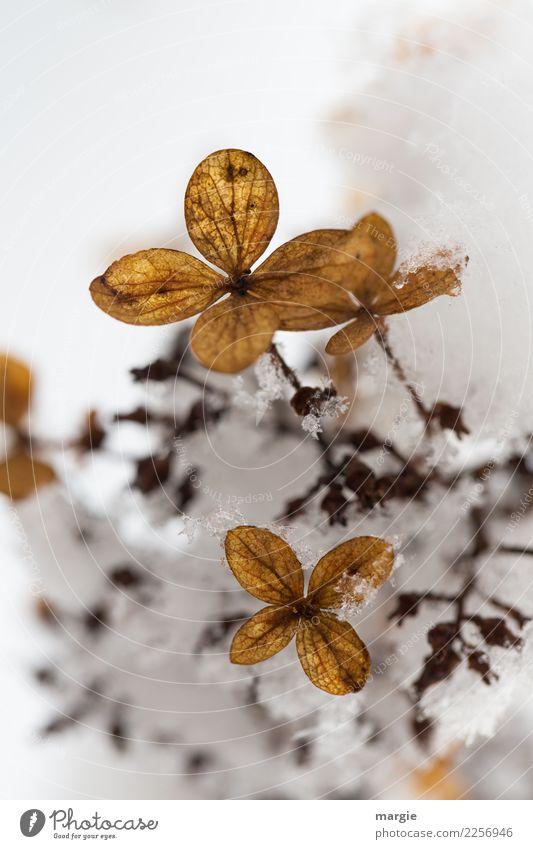 Jenseits des Mainstreams | Blumen verwelkt im Schnee Umwelt Natur Pflanze Winter Klima Klimawandel Wetter Eis Frost Schneefall Sträucher Blatt Blüte Grünpflanze