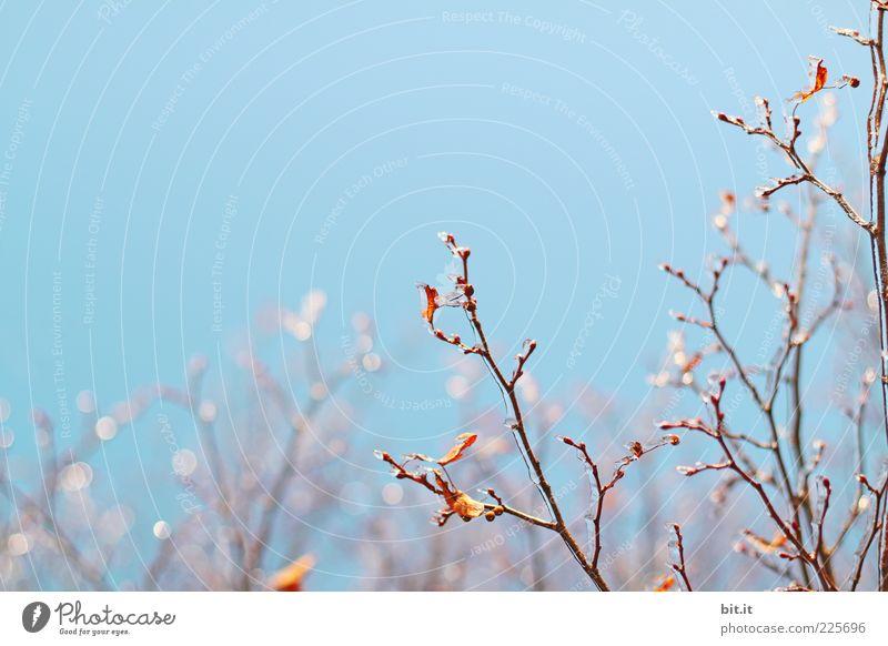 Klirr-Klirr Umwelt Pflanze Himmel Wolkenloser Himmel Winter Klima Eis Frost Blatt glänzend kalt blau Natur Wandel & Veränderung Eiskristall Eiszeit gefroren