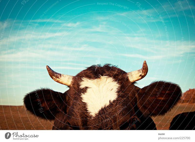 Kopfgeldjäger Natur Tier Auge natürlich Ohr Tiergesicht hören Kuh Schönes Wetter Horn ökologisch Anschnitt Biologische Landwirtschaft Leben Tierzucht