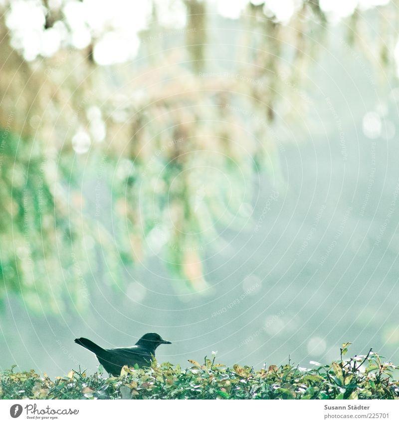 Der frühe Vogel.. Blatt ruhig Tier schwarz klein sitzen einzeln beobachten Hecke Unschärfe Lärche