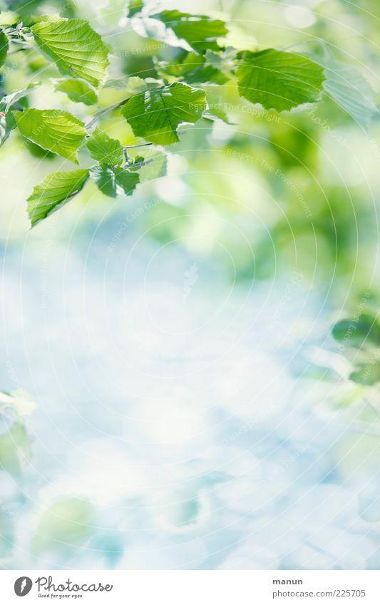 Blätter Natur Sommer Sonne Blatt Frühling natürlich hell frisch Blattadern Frühlingsgefühle Zweige u. Äste Pflanze