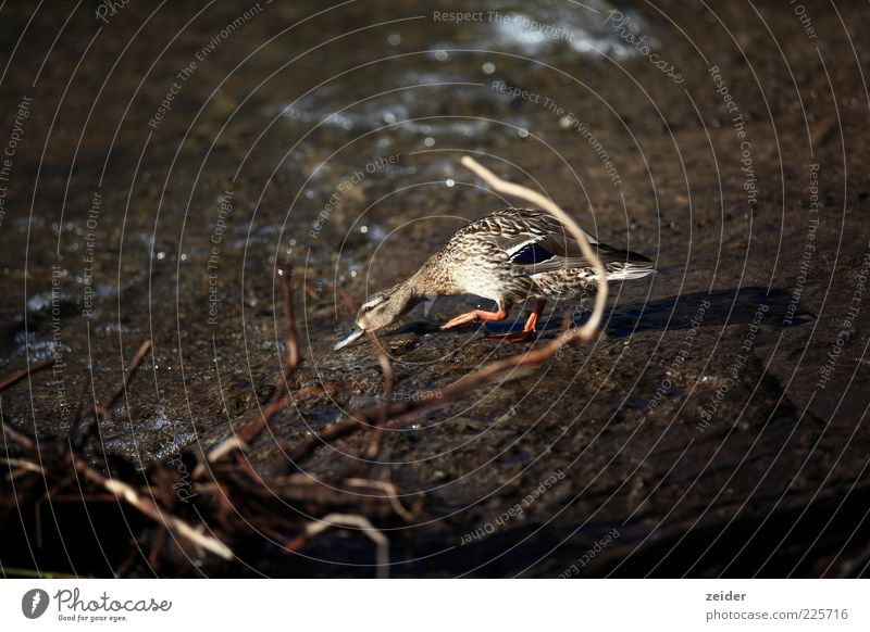 Ente Umwelt Natur Erde Wasser Sommer Regen Seeufer Bach Fluss Wildtier Vogel Flügel Zoo 1 Tier Tierjunges ästhetisch Gefühle eitel elegant entdecken Kreativität