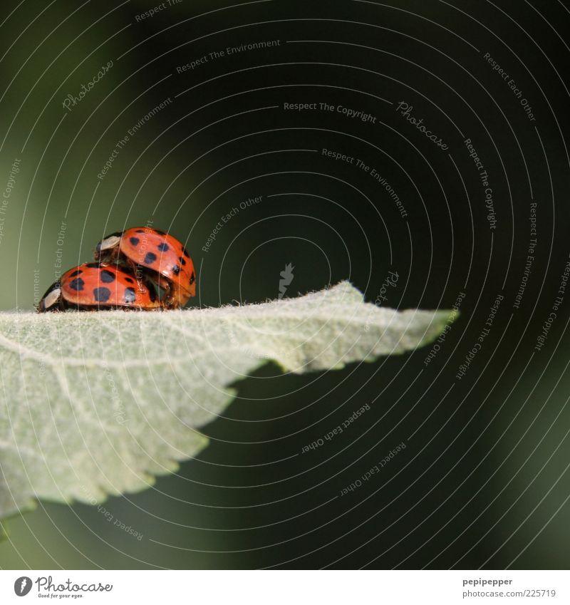 doppel-decker grün Pflanze rot Tier Blatt Gefühle sitzen Tierpaar Zusammenhalt Käfer Marienkäfer Grünpflanze gepunktet Brunft aufeinander