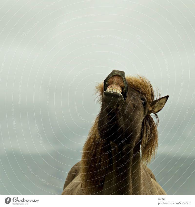 Hö-Hö-Hö Freude Tier Haustier Nutztier Pferd Tiergesicht 1 lachen lustig skurril Ponys Island Gebiss wiehern Wittern Farbfoto Gedeckte Farben Außenaufnahme
