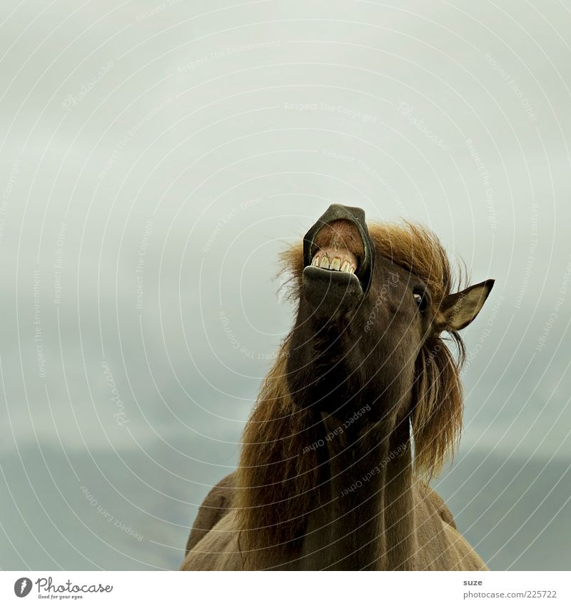 Hö-Hö-Hö Freude Tier lachen lustig Nebel Pferd Tiergesicht Gebiss Fell Island skurril Haustier Ponys Nutztier Mähne Nüstern