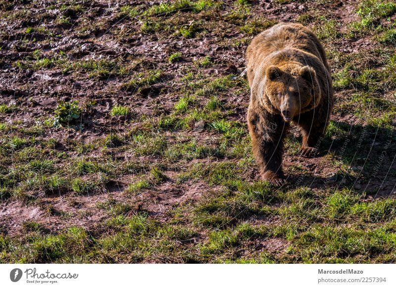 Braunbär (Ursus arctos) Freiheit Berge u. Gebirge Zoo Natur Tier Gras Park Wildtier 1 natürlich wild braun Tapferkeit Schutz Vorsicht Angst gefährlich Bär