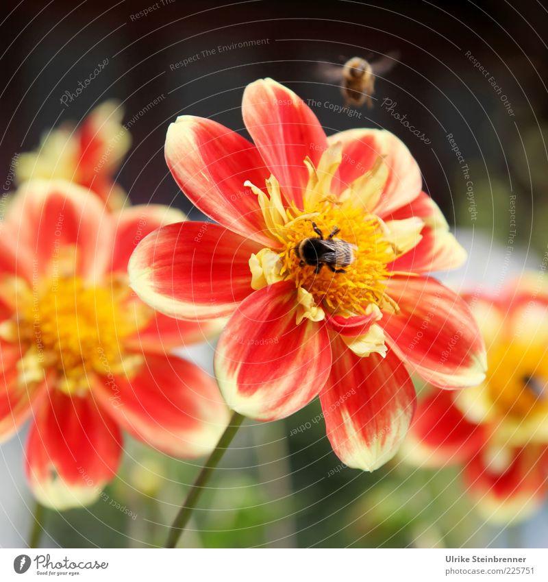 Nicht trödeln, Willi! rot Sommer Blume Farbe Blüte orange fliegen Flügel Biene Schönes Wetter Pollen Blütenblatt mehrfarbig sommerlich Blütenstempel Tier