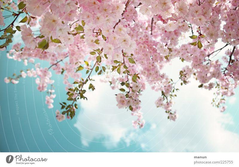Zierde Natur Himmel Wolken Frühling Schönes Wetter Baum Blatt Blüte Zierkirsche Kirschblüten Blühend frisch hell schön rosa Frühlingsgefühle Farbfoto