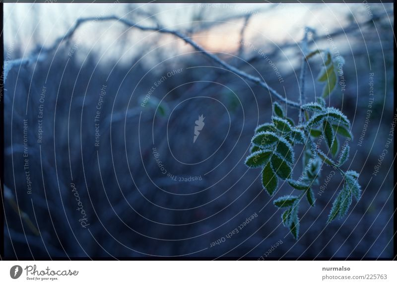 stilles grün Umwelt Natur Pflanze Winter Klima Eis Frost Grünpflanze Wildpflanze frieren glänzend hängen dunkel kalt natürlich trashig trist Stimmung nachhaltig