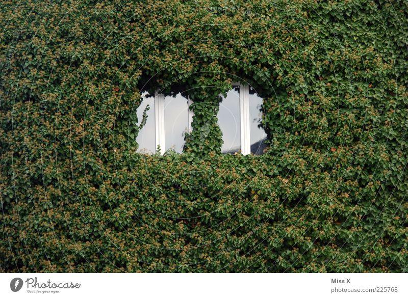 [] [] Natur grün Pflanze Blatt Haus Wand Fenster Mauer Fassade Wachstum Efeu Ranke Licht Muster verwildert