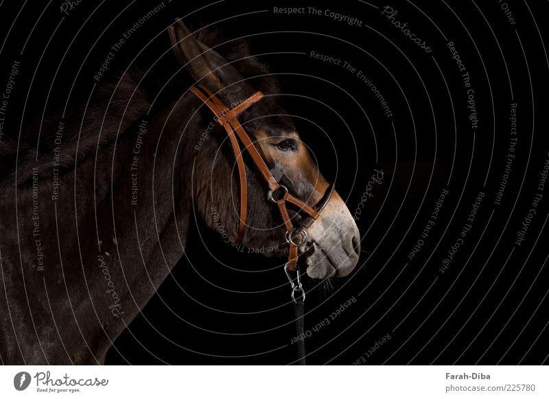 Maulesel schwarz Tier braun Pause Pferd Tiergesicht Gelassenheit Langeweile Haustier bequem Nutztier Unlust Trägheit Zaumzeug Muli