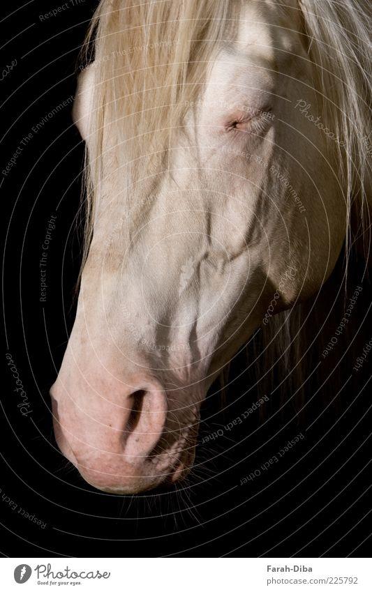 schlafender Cremello schwarz Tier Zufriedenheit Pferd Tiergesicht Vertrauen Fell Haustier Schimmel bequem Erschöpfung Nutztier Mähne Unlust Trägheit