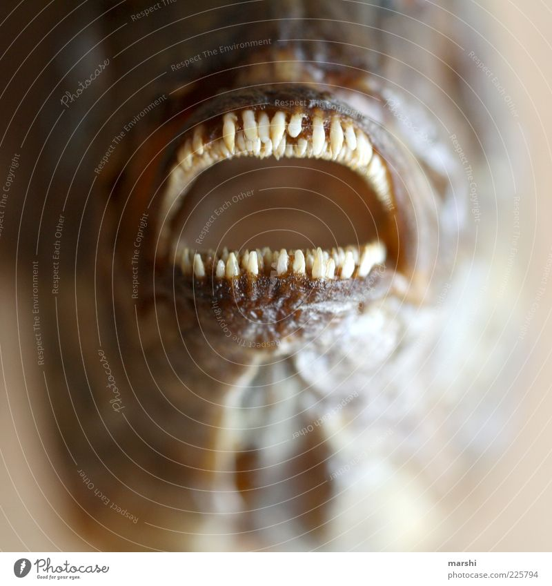 Zahnarztbesuch Tier Ernährung Fisch Zähne Tiergesicht Spitze Gebiss Unschärfe Neigung Maul Mund Mensch Nahaufnahme Dorade