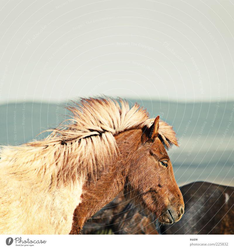 Dösen Himmel Tier Stimmung natürlich Wind Wildtier wild warten stehen ästhetisch Pferd Fell Tiergesicht Island Ponys Nutztier