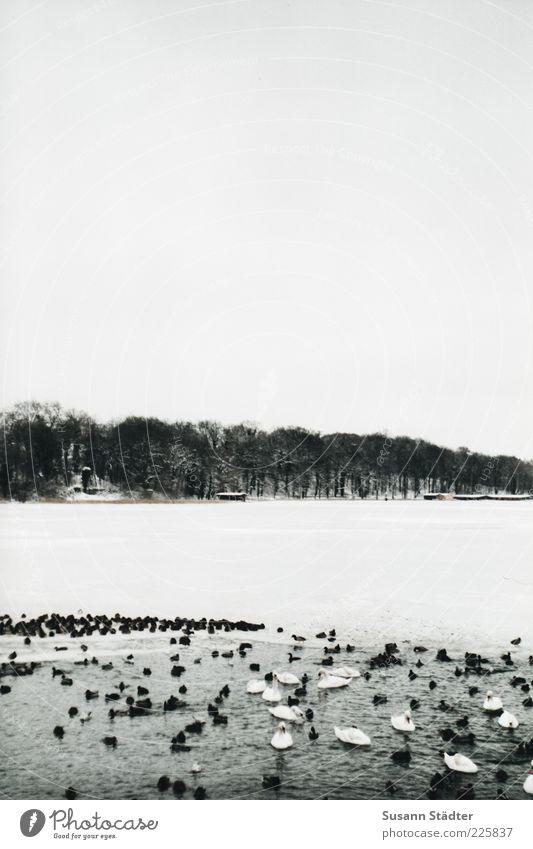 Winter 2.0 Eis Frost Schnee Wellen Seeufer Schwimmen & Baden Ente Schwan Eisscholle Baumreihe gefroren Bootshaus Mecklenburg-Vorpommern Seenplatte