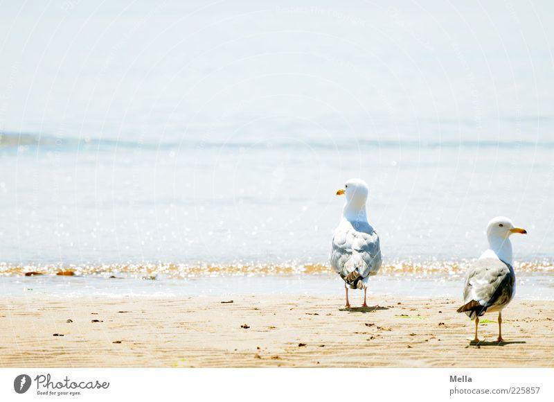 Zweisam Umwelt Natur Landschaft Sand Wasser Wellen Küste Strand Tier Vogel Möwe Silbermöwe 2 Tierpaar Blick stehen Zusammensein hell natürlich blau Stimmung
