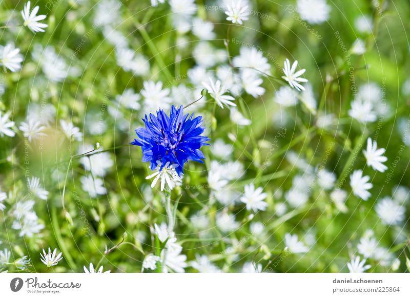 Mädchenfoto Pflanze Frühling Sommer Blume Blüte blau grün weiß Kornblume Nahaufnahme Makroaufnahme Menschenleer Blumenwiese Detailaufnahme Blütenblatt Unschärfe