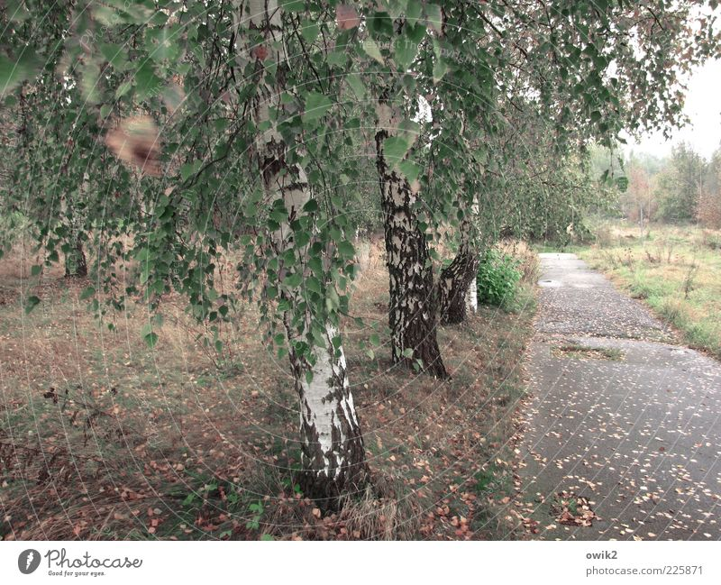 Alte Straße Umwelt Natur Landschaft Pflanze Horizont Herbst Klima Wetter Wind Sturm Baum Gras Sträucher Blatt Grünpflanze Wildpflanze Birke Wiese Wald