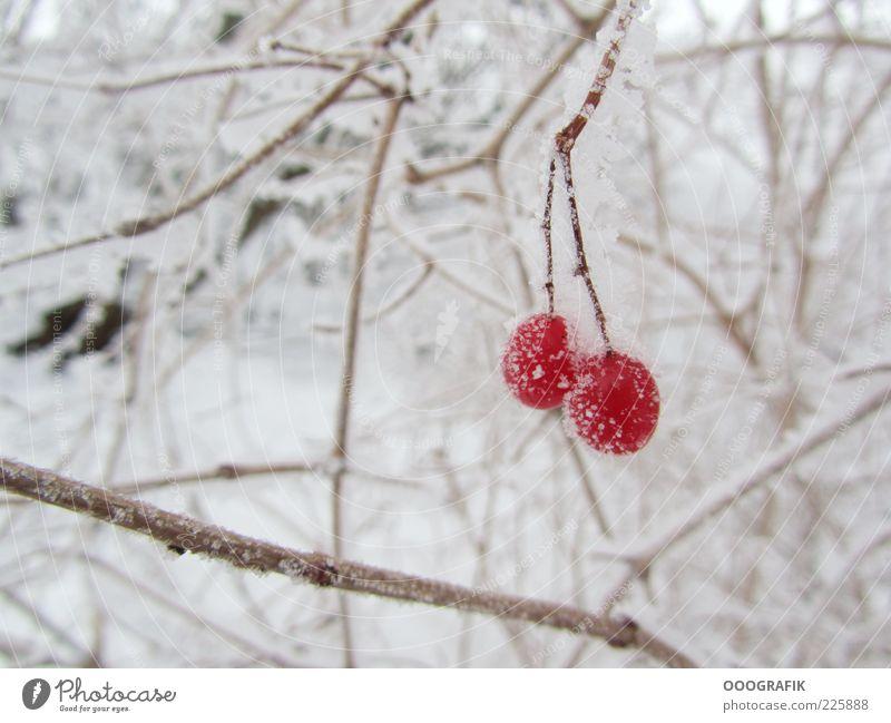Rote Beeren im Winterkleid Eis Frost Schnee Pflanze Baum Sträucher Wildpflanze kalt natürlich schön braun rot weiß Stimmung Umwelt Farbfoto Außenaufnahme