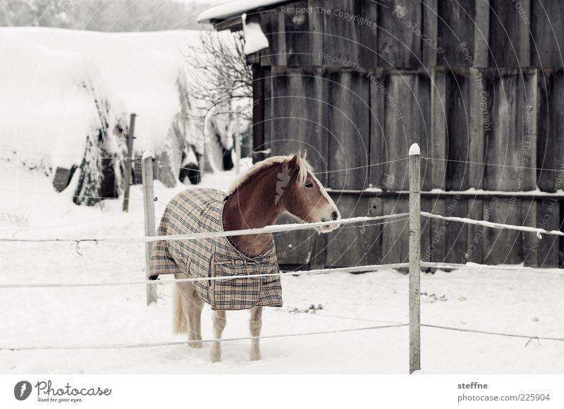 Sind Pferde bedrückt, ist die Erde beglückt Winter Schnee 1 Tier ästhetisch schön Farbfoto Gedeckte Farben Außenaufnahme Tierporträt Pony Mähne Nüstern Scheune