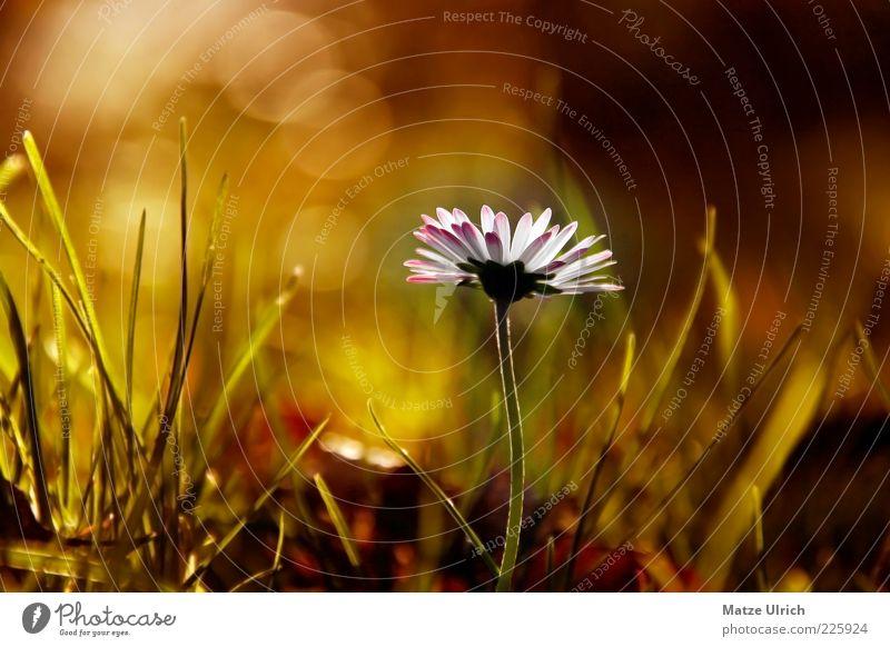 Gänseblümchen Natur Herbst Pflanze Blume Wildpflanze Wiese grün weiß Farbfoto Außenaufnahme Nahaufnahme Menschenleer Textfreiraum links Sonnenlicht Unschärfe