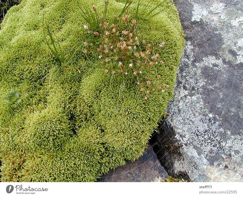 Moos grün Blüte Stein Moospolster