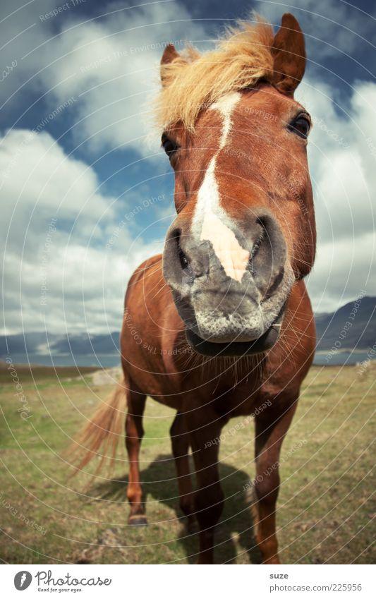 Kühles Blondes Natur Landschaft Tier Himmel Wolken Wind Nutztier Wildtier Pferd Tiergesicht stehen warten ästhetisch Freundlichkeit lustig natürlich Neugier