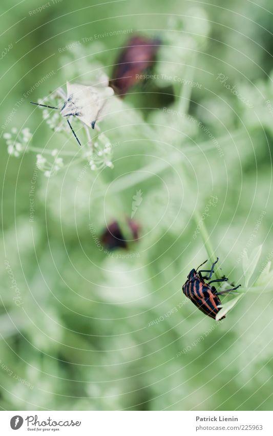 crowded Umwelt Natur Pflanze Tier Sträucher Grünpflanze Wildpflanze Wildtier Käfer 2 sitzen warten frisch schön weich Insekt grün Farbfoto Außenaufnahme