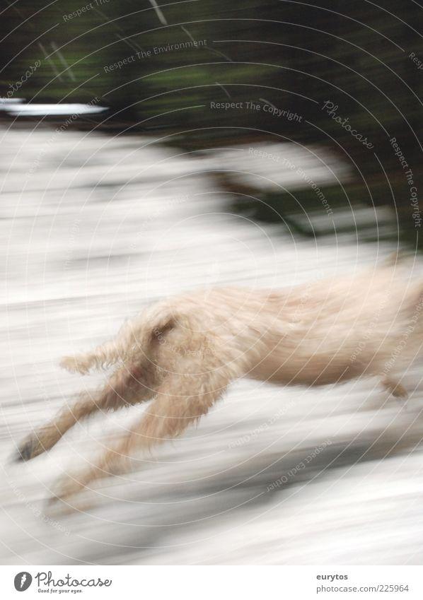 Windhund Tier Hund 1 weiß rennen Hunderennen Farbfoto Außenaufnahme Tag Unschärfe Flucht Bewegungsunschärfe Hinterbein Schwanz Fell hell kopflos