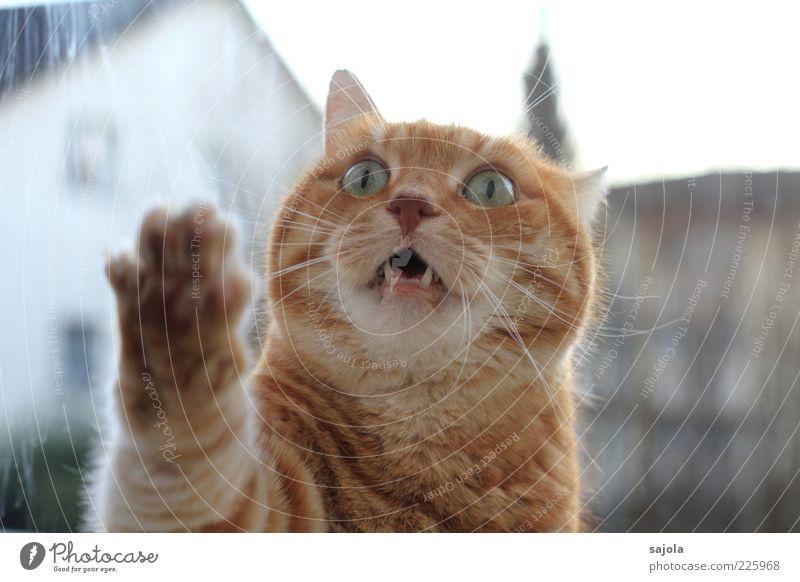 he, lass mich rein! Tier Haustier Katze Tiergesicht Pfote 1 Erwartung orange Tigerkatze Miau Blick Ungeduld Panik Fensterscheibe betteln Wunsch Fragen Farbfoto