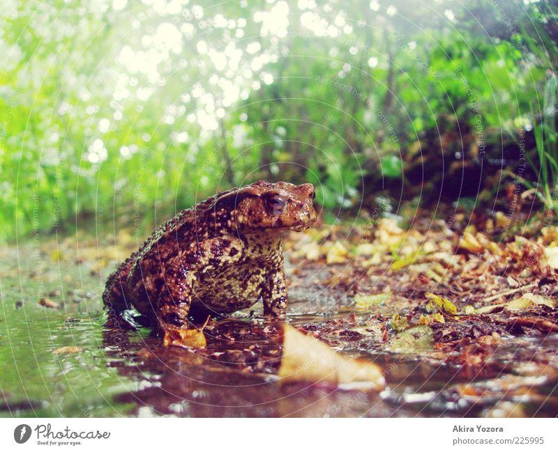 Krötenwetter Natur Erde Pflanze Sträucher Garten Tier Wildtier Erdkröte Lurch 1 leuchten Blick sitzen warten nah nass natürlich stark braun gelb grün schwarz